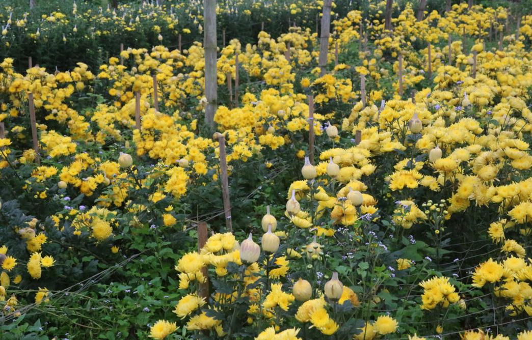 """Lào Cai: Vườn hoa đào Tết nở bung đẹp mê li, khách háo hức xin vô còn còn chủ """"buồn như trấu cắn"""". Vì sao? - Ảnh 2."""
