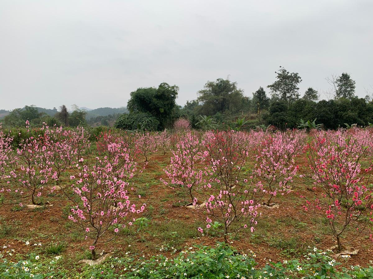 """Lào Cai: Vườn hoa đào Tết nở bung đẹp mê li, khách háo hức xin vô còn còn chủ """"buồn như trấu cắn"""". Vì sao? - Ảnh 6."""
