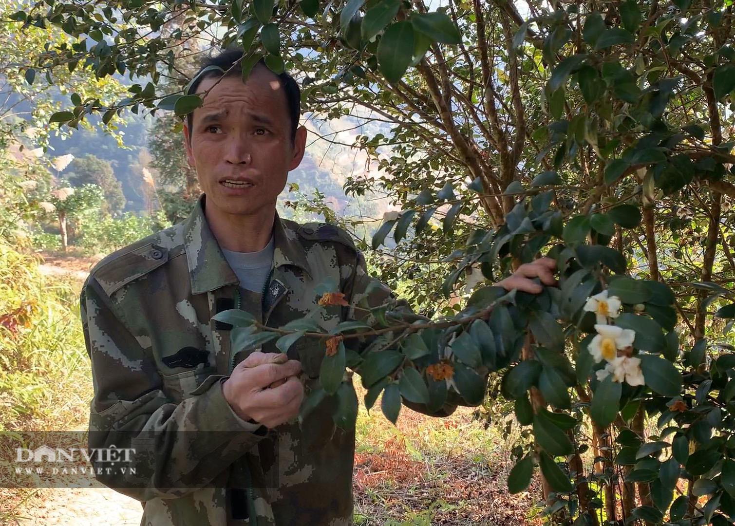 Cao Bằng: Trồng cây cho thứ dầu tưởng chỉ người nghèo mới ăn mà giờ có tiền tìm mua đến khổ - Ảnh 2.