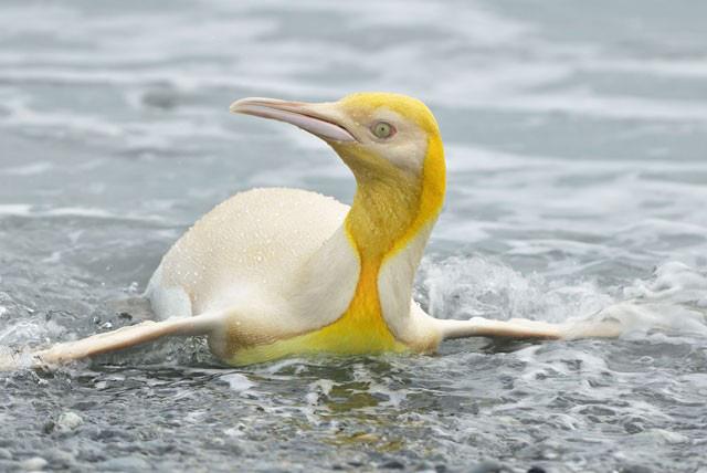Ngây người khi phát hiện con chim cánh cụt màu vàng độc lạ, cực kỳ hiếm có - Ảnh 1.