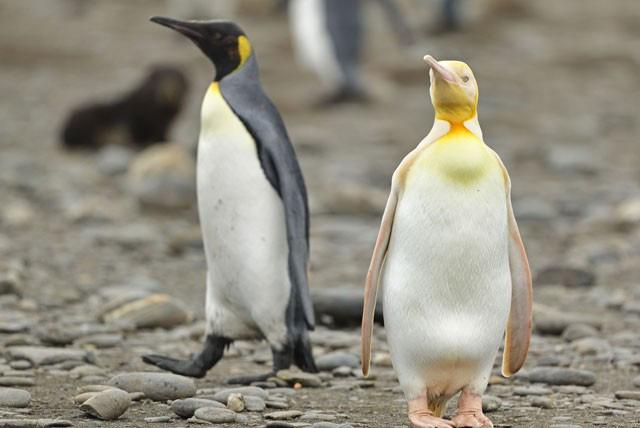Ngây người khi phát hiện con chim cánh cụt màu vàng độc lạ, cực kỳ hiếm có - Ảnh 2.