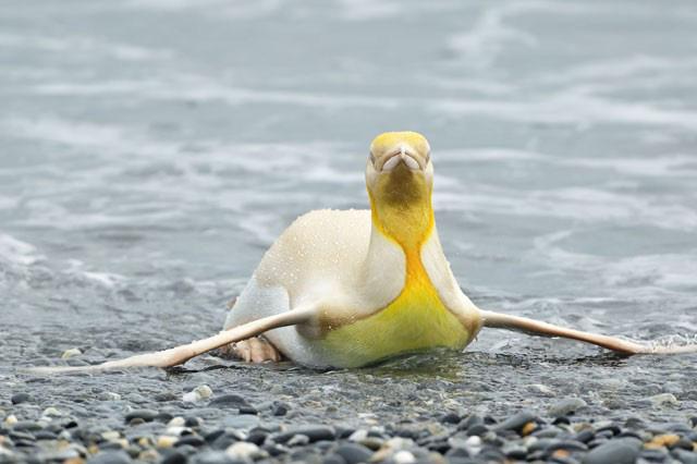 Ngây người khi phát hiện con chim cánh cụt màu vàng độc lạ, cực kỳ hiếm có - Ảnh 3.