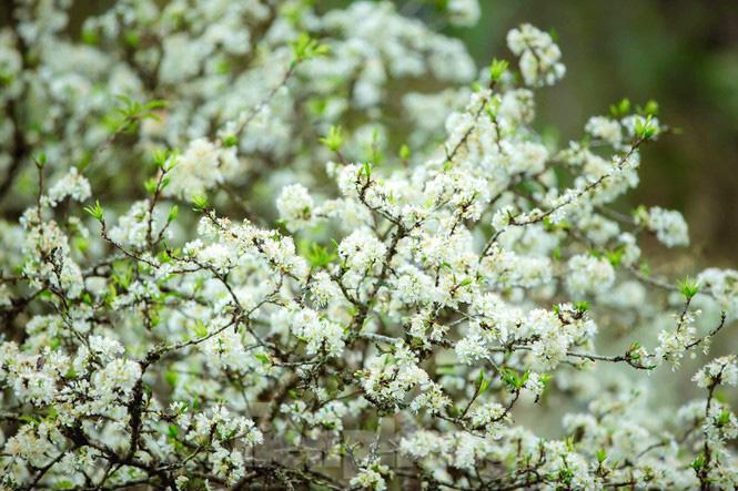 Thiếu nữ khoe sắc bên hoa mận nở trắng muốt nơi cổng trời đẹp như tranh - Ảnh 4.