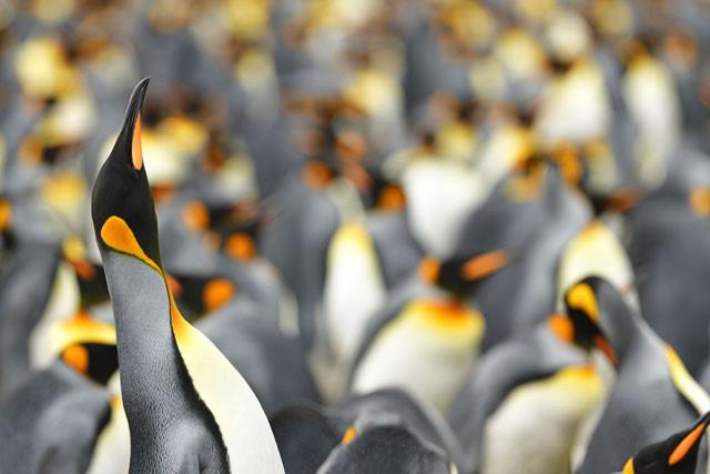 Ngây người khi phát hiện con chim cánh cụt màu vàng độc lạ, cực kỳ hiếm có - Ảnh 7.