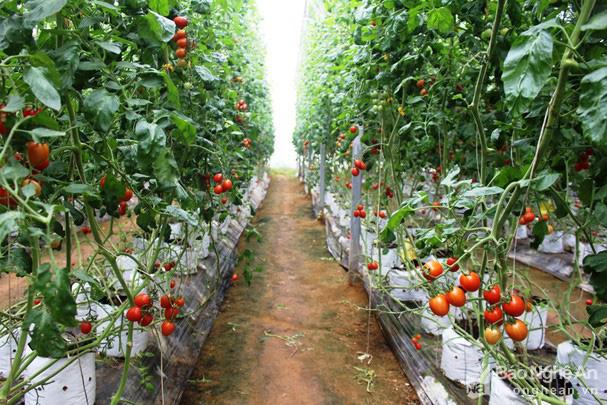Giống cà chua được nông dân Nghệ An đang trồng là giống gì mà bà con kêu quá trời thu hoạch mỏi tay không hết? - Ảnh 1.