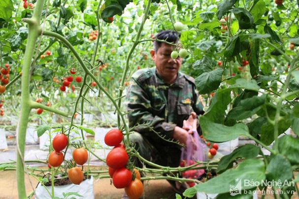 Giống cà chua được nông dân Nghệ An đang trồng là giống gì mà bà con kêu quá trời thu hoạch mỏi tay không hết? - Ảnh 3.