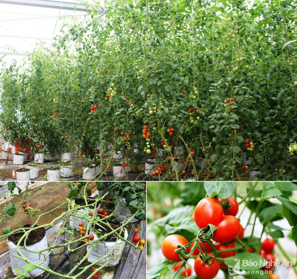 Giống cà chua được nông dân Nghệ An đang trồng là giống gì mà bà con kêu quá trời thu hoạch mỏi tay không hết? - Ảnh 6.