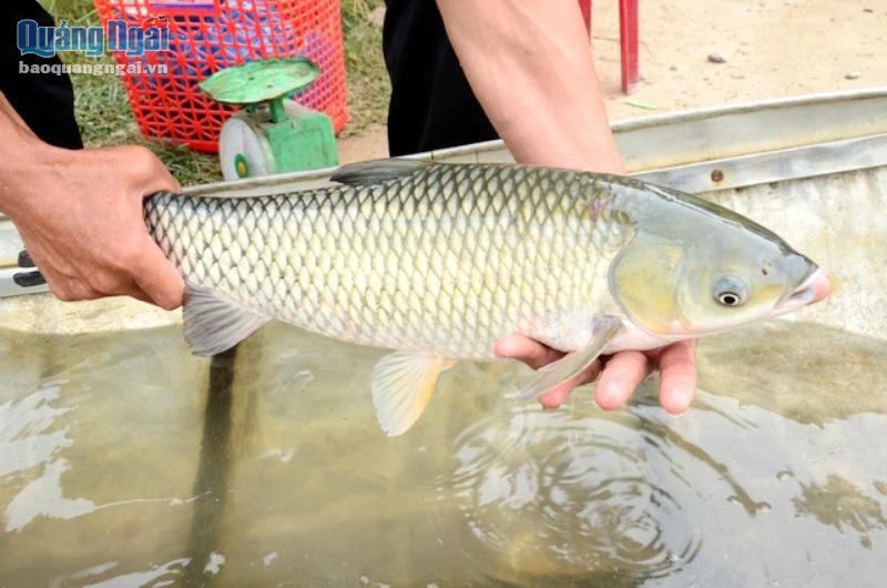 Nuôi loài cá ngon, sạch nổi danh trên sông Trà Khúc, nông dân ở đây mặt ai cũng rạng rỡ vì có thu nhập khá - Ảnh 5.