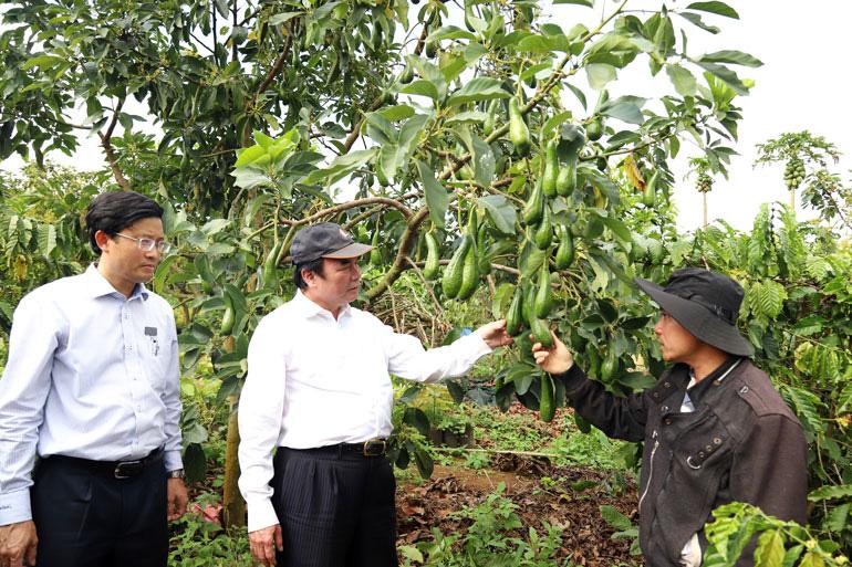 Lâm Đồng: Bất ngờ với vườn trồng cây bơ 034 độc nhất vô nhị ở Bảo Lâm, nhìn đâu cũng thấy trái - Ảnh 1.
