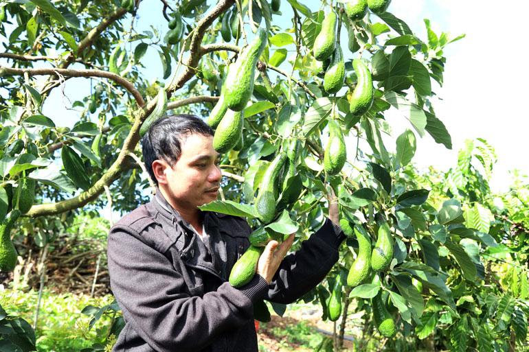 Lâm Đồng: Bất ngờ với vườn trồng cây bơ 034 độc nhất vô nhị ở Bảo Lâm, nhìn đâu cũng thấy trái - Ảnh 2.