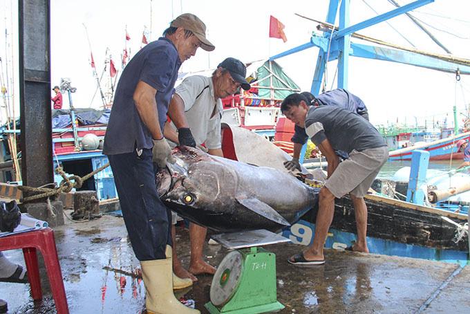 Khánh Hòa: Dân bắt được toàn cá lớn đầu năm, loài cá gì to dài phải 2-3 người khênh? - Ảnh 2.