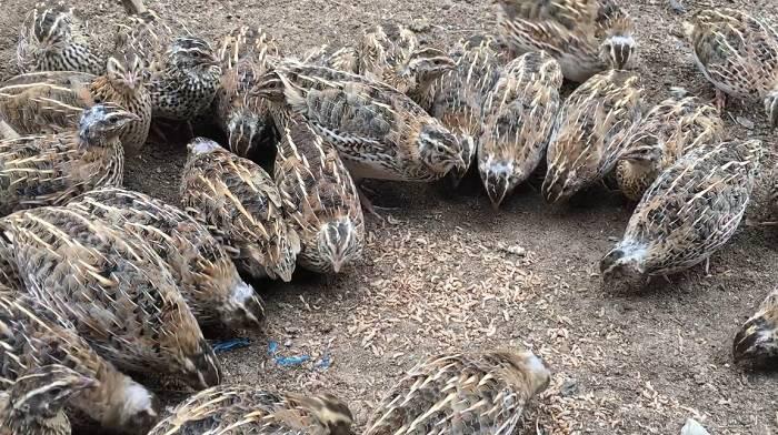 nuôi chim cút thịt