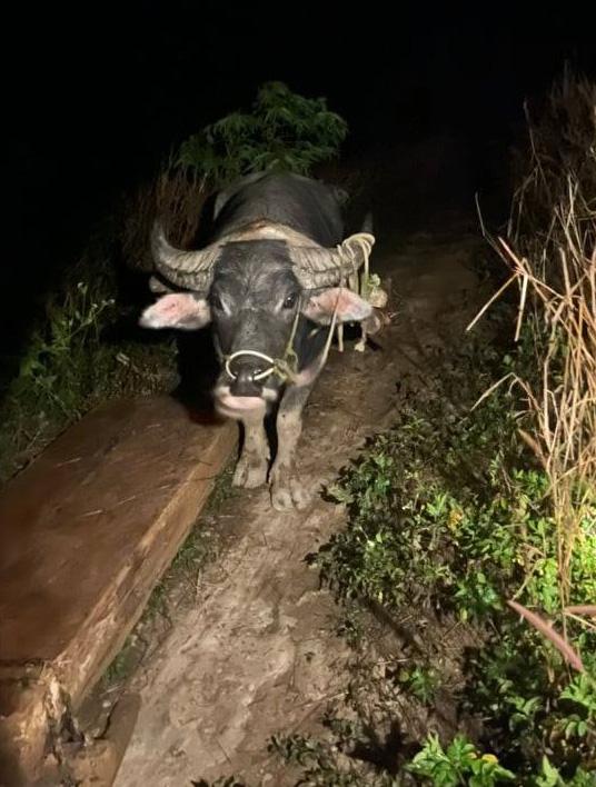 Rừng pơ-mu quý hiếm bị tàn phá: Lâm tặc đi một đường, bảo vệ rừng chốt một nẻo(?!) - Ảnh 4.
