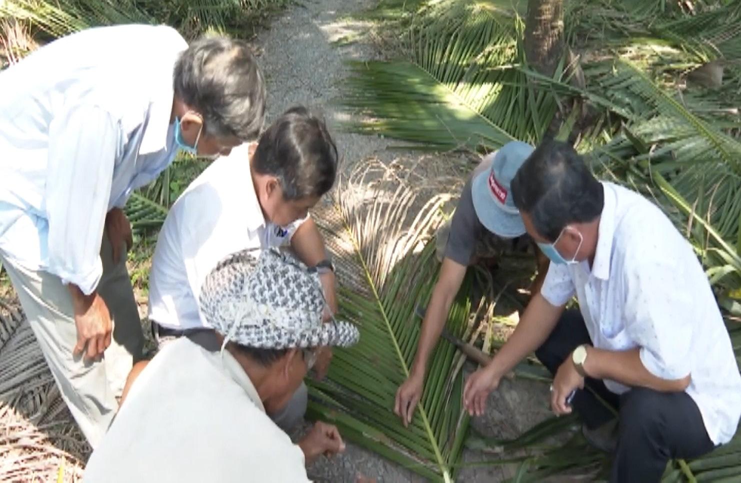 Bến Tre: Sâu đầu đen bùng phát gây hại trên cây dừa, nhiều bà con mất nguồn thu nhập - Ảnh 2.