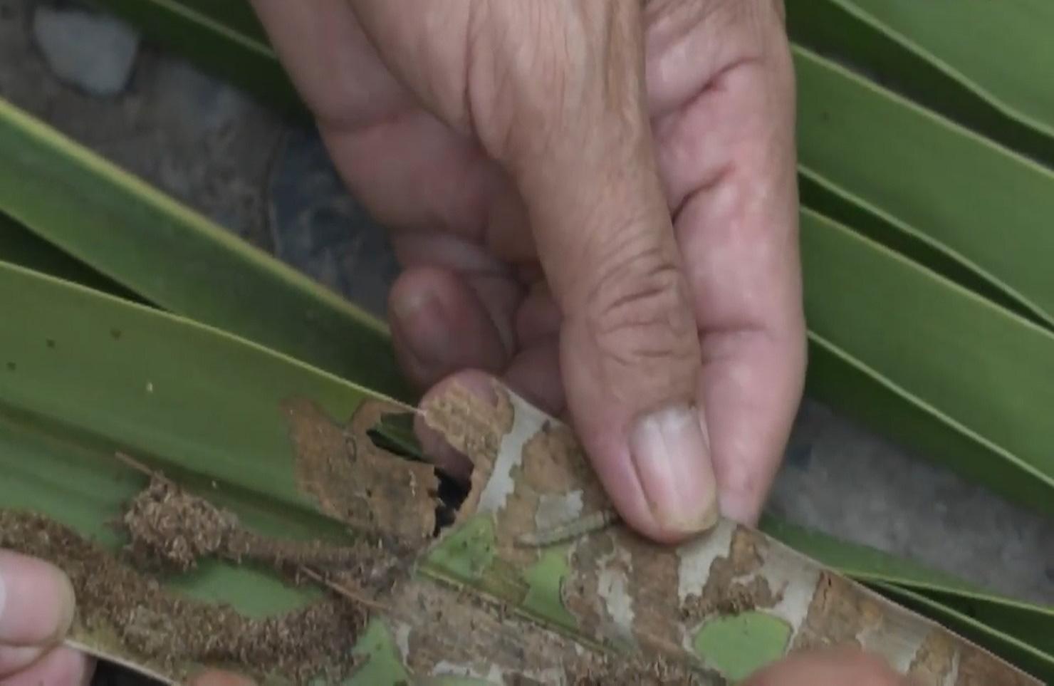 Bến Tre: Sâu đầu đen bùng phát gây hại trên cây dừa, nhiều bà con mất nguồn thu nhập - Ảnh 3.