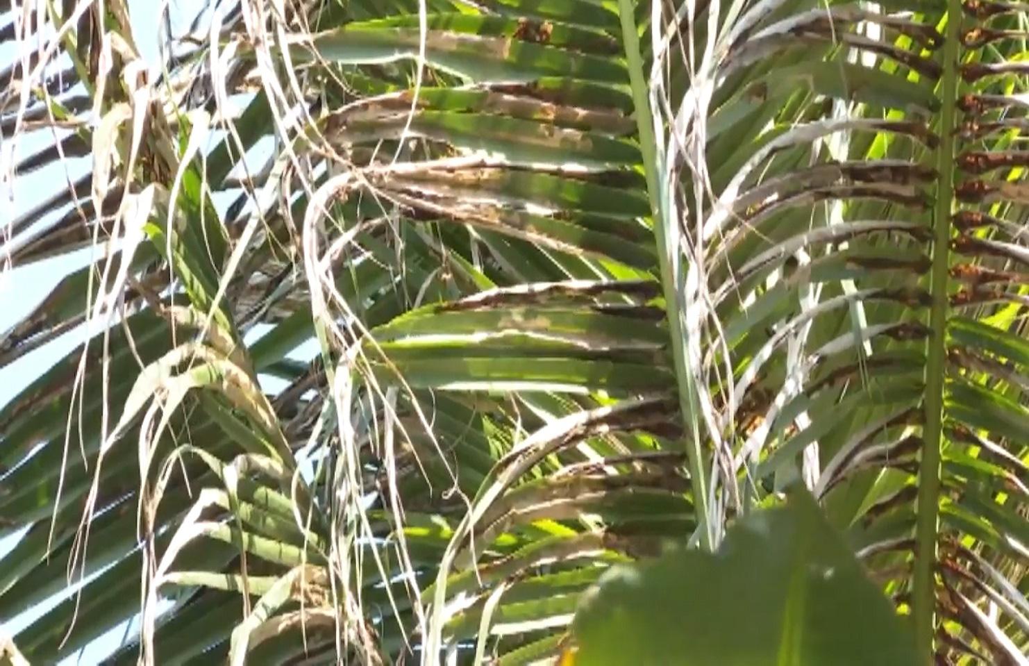 Bến Tre: Sâu đầu đen bùng phát gây hại trên cây dừa, nhiều bà con mất nguồn thu nhập - Ảnh 6.