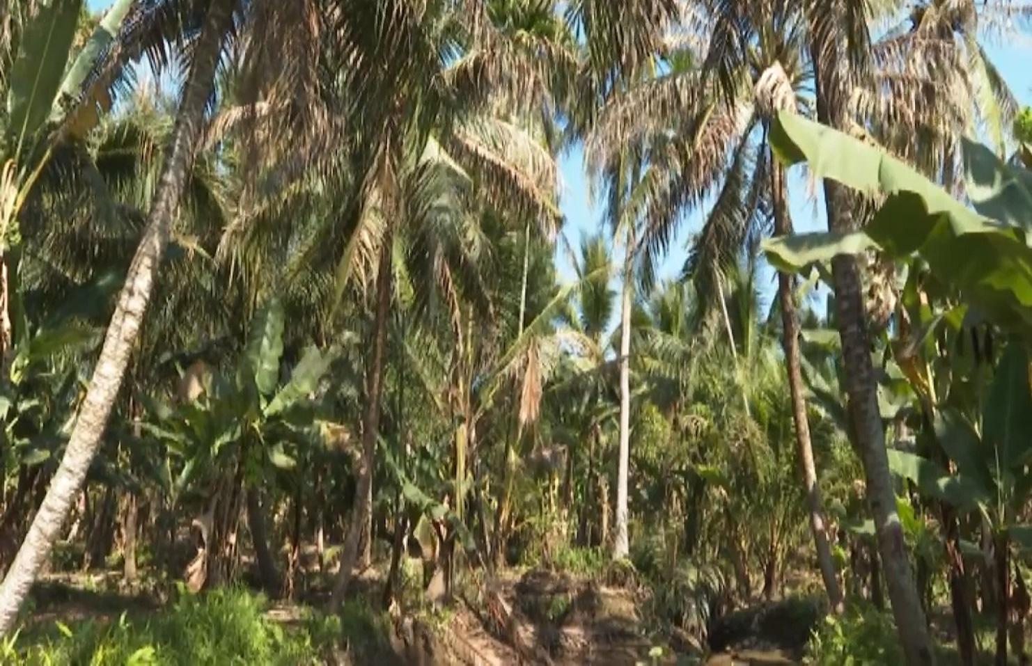 Bến Tre: Sâu đầu đen bùng phát gây hại trên cây dừa, nhiều bà con mất nguồn thu nhập - Ảnh 5.