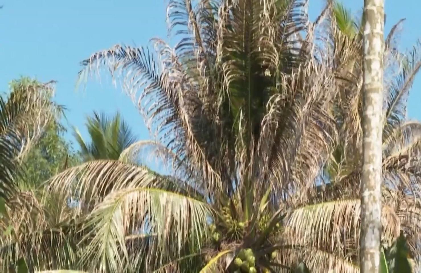 Bến Tre: Sâu đầu đen bùng phát gây hại trên cây dừa, nhiều bà con mất nguồn thu nhập - Ảnh 8.