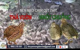 Video: Nuôi chim cút thịt thả vườn hay nhốt lồng, phương pháp nào hiệu quả hơn?