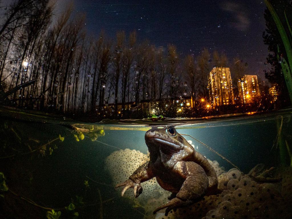 Hình ảnh con ếch đoạt giải cuộc thi Nhiếp ảnh dưới nước năm 2021 - Ảnh 1.