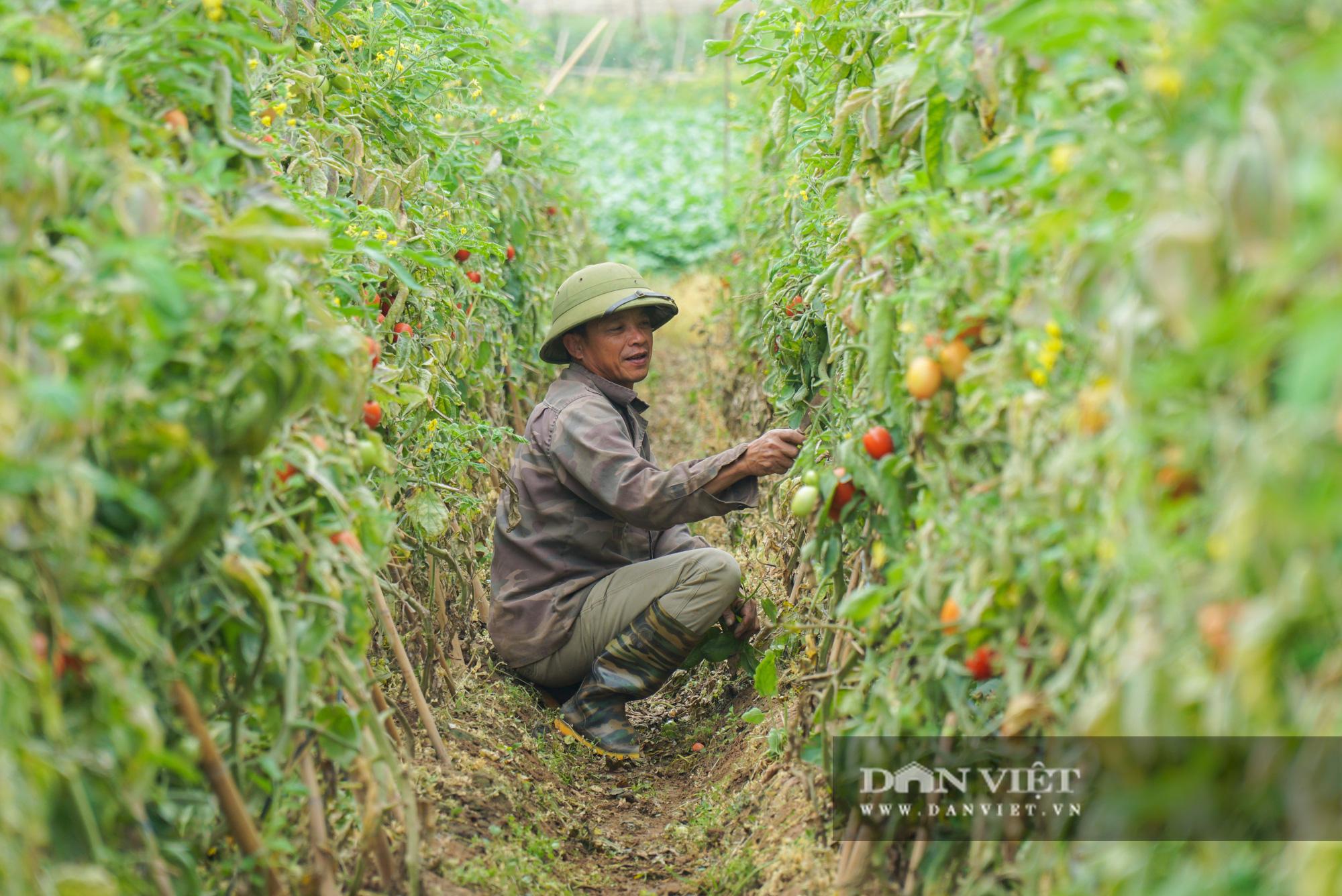Củ cải thối phơi trắng cánh đồng, cà chua đỏ ửng không ai thu hoạch  - Ảnh 11.