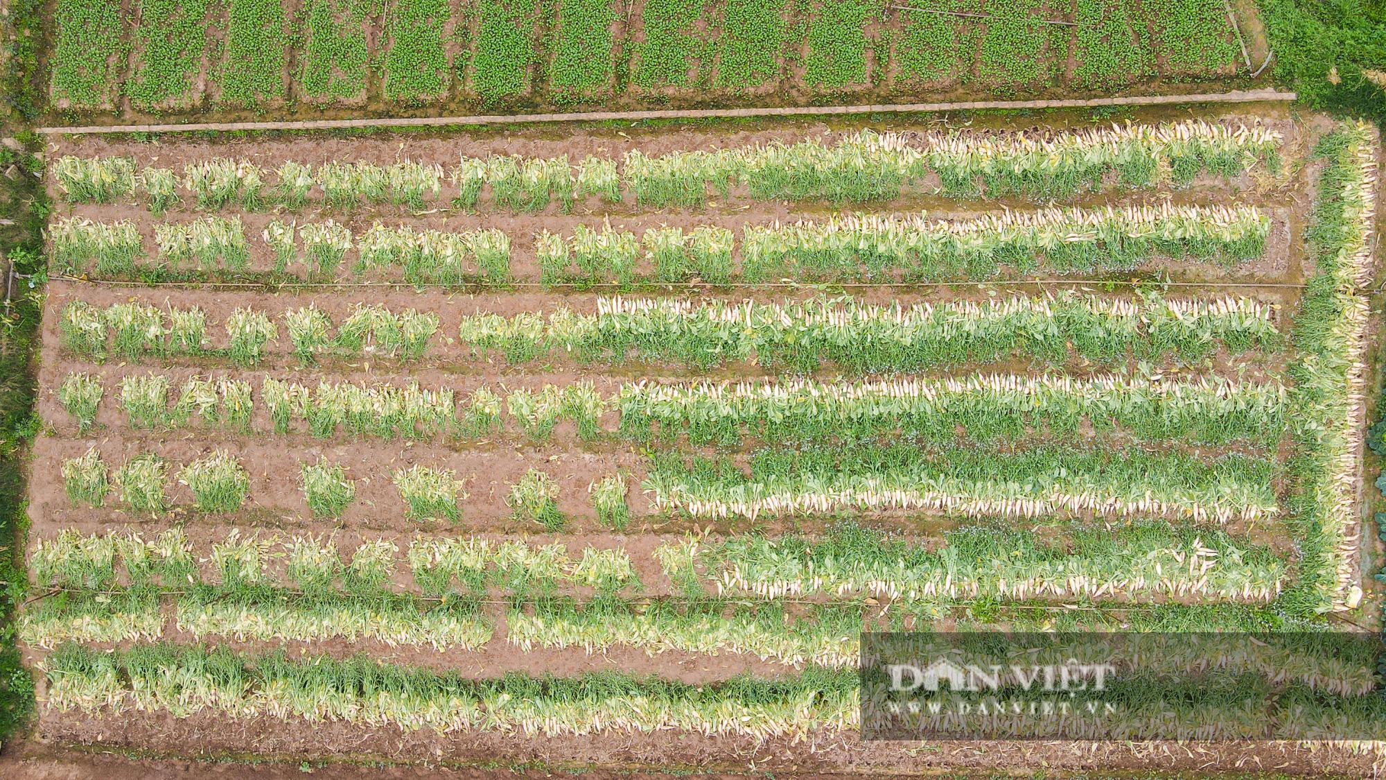 Củ cải thối phơi trắng cánh đồng, cà chua đỏ ửng không ai thu hoạch  - Ảnh 1.