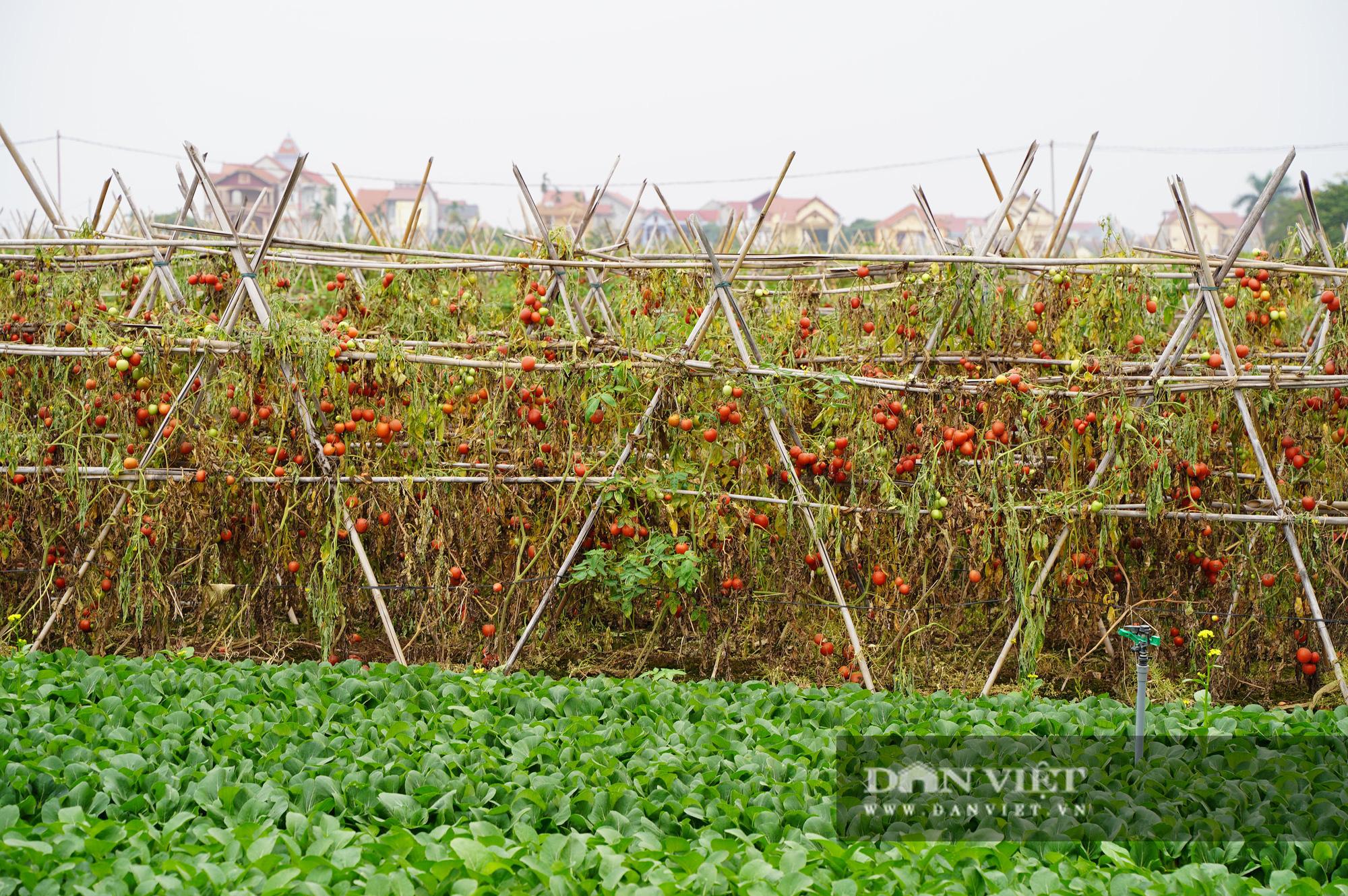 Củ cải thối phơi trắng cánh đồng, cà chua đỏ ửng không ai thu hoạch  - Ảnh 12.