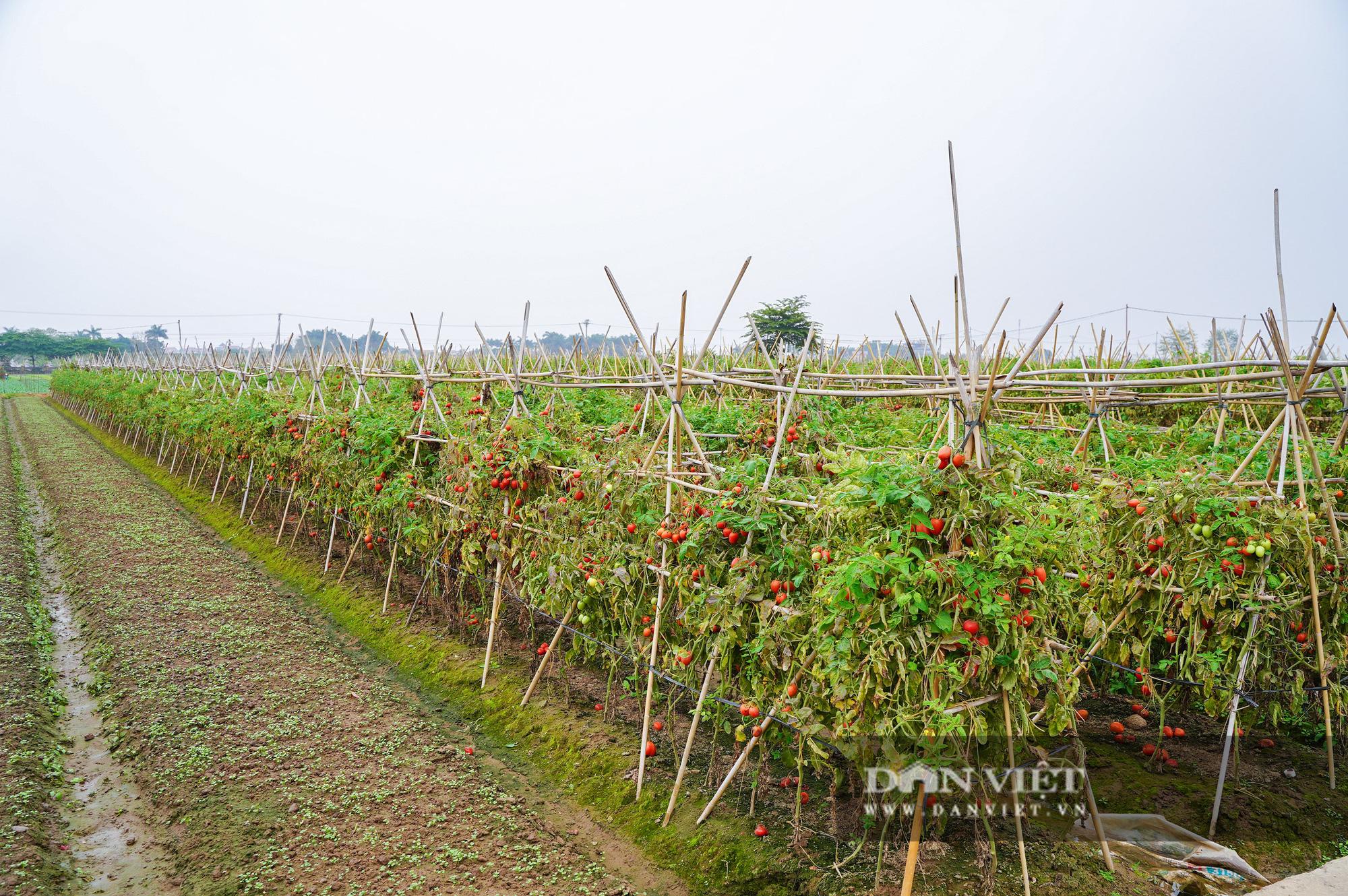 Củ cải thối phơi trắng cánh đồng, cà chua đỏ ửng không ai thu hoạch  - Ảnh 10.