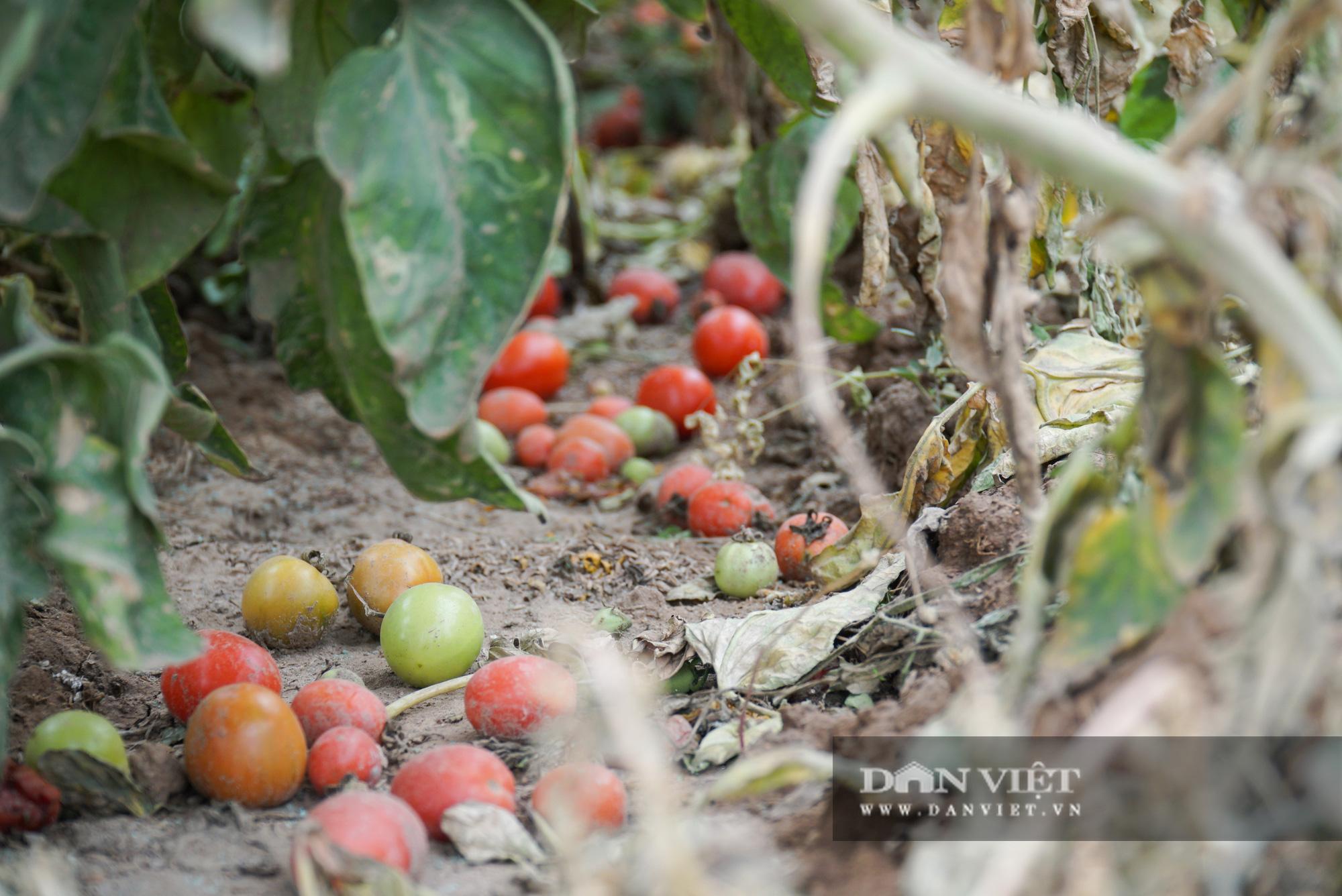 Củ cải thối phơi trắng cánh đồng, cà chua đỏ ửng không ai thu hoạch  - Ảnh 13.
