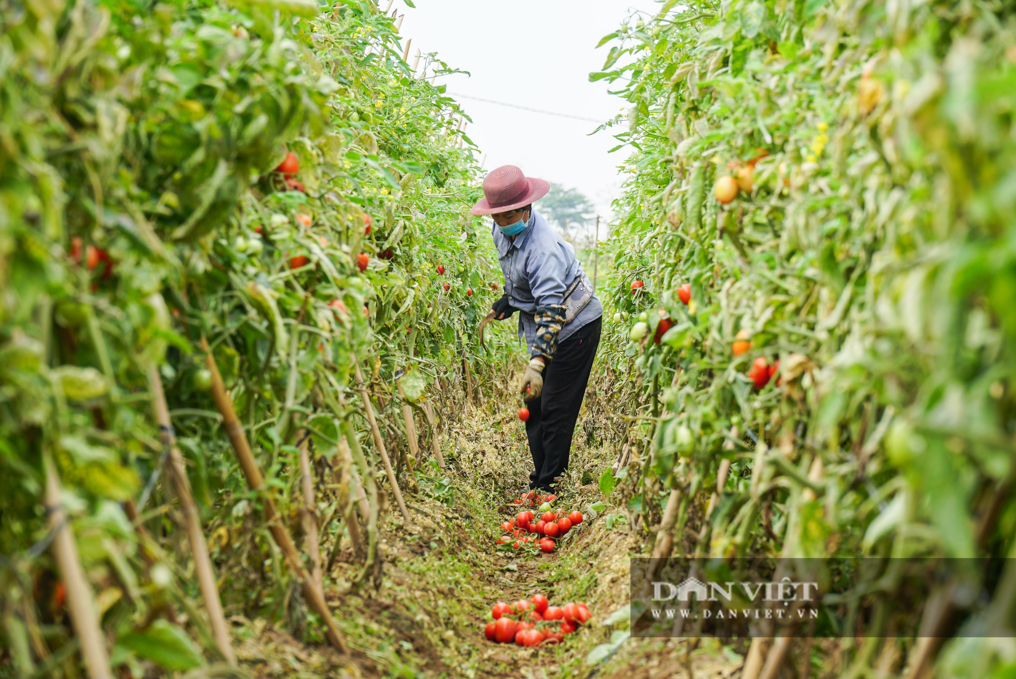 Củ cải thối phơi trắng cánh đồng, cà chua đỏ ửng không ai thu hoạch  - Ảnh 14.