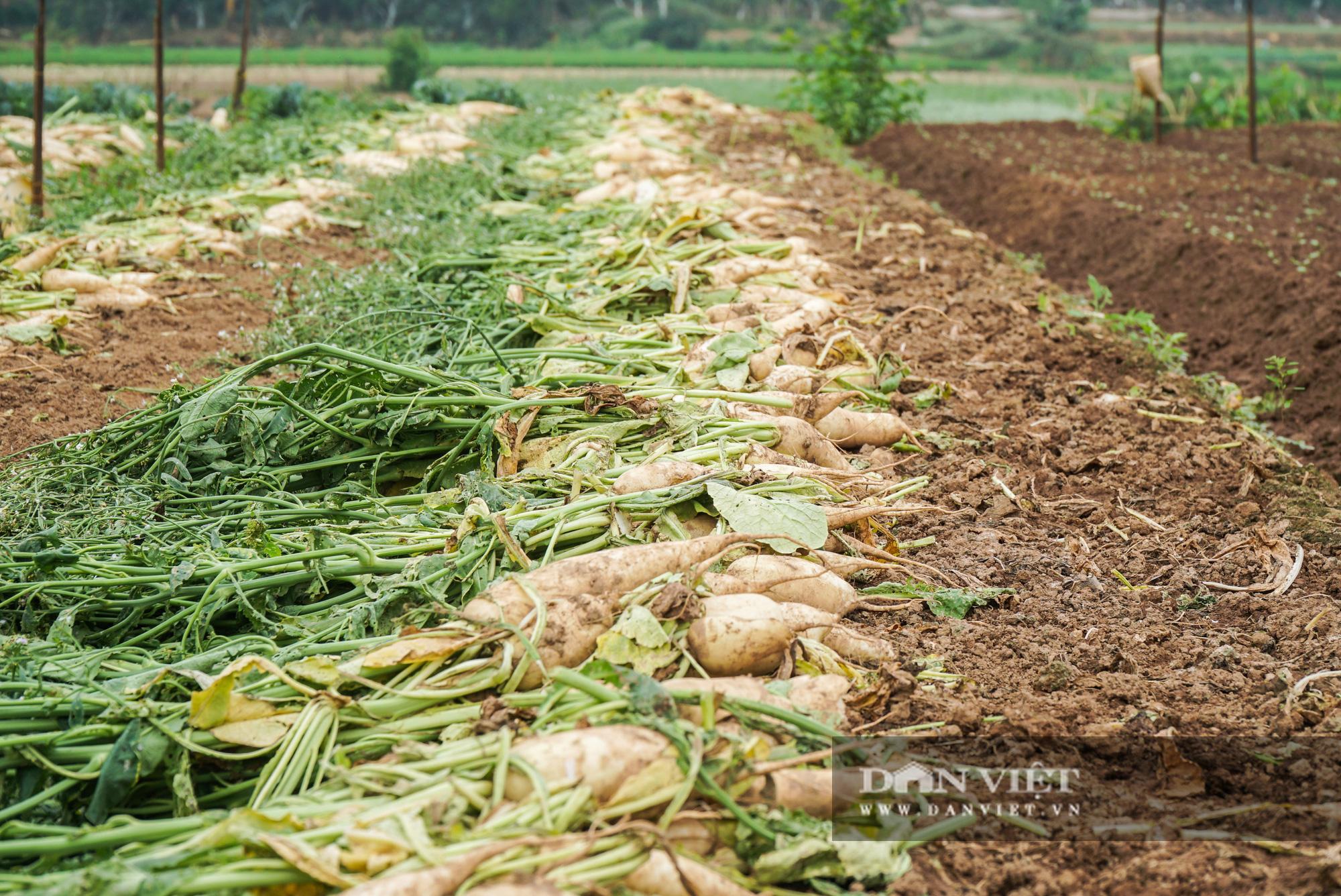 Củ cải thối phơi trắng cánh đồng, cà chua đỏ ửng không ai thu hoạch  - Ảnh 5.