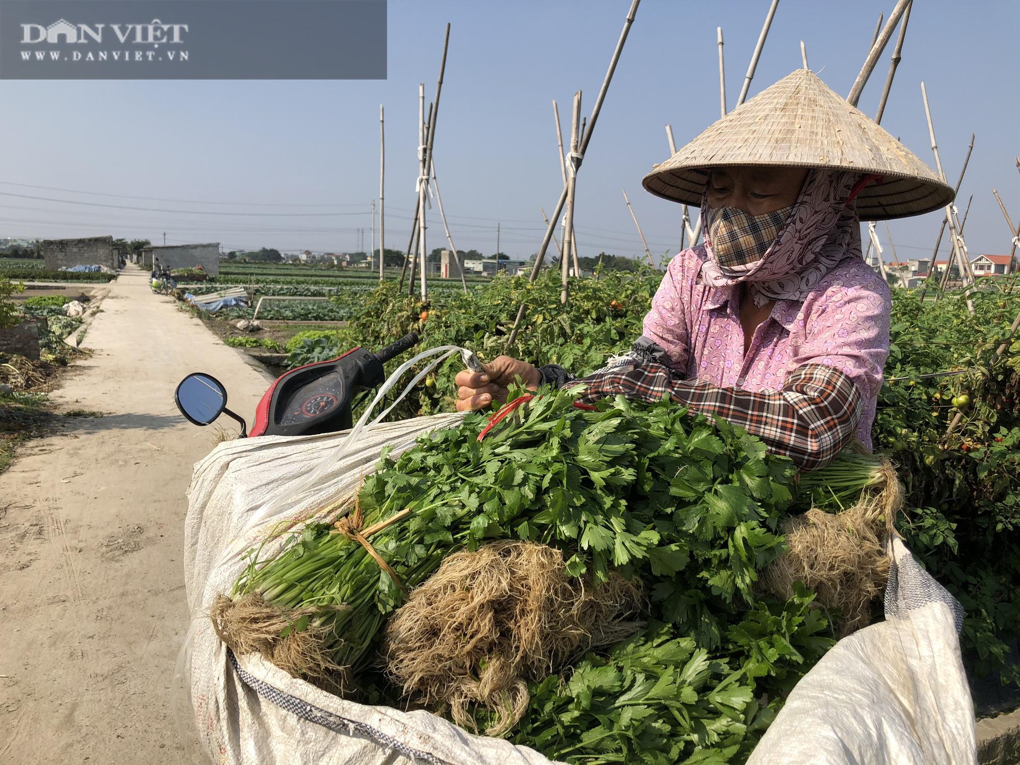Thái Bình: Rau rẻ như cho, chỉ 8.000 nghìn đồng/15 củ su hào, nông dân chán nản cắt về làm thức ăn cho bò - Ảnh 4.