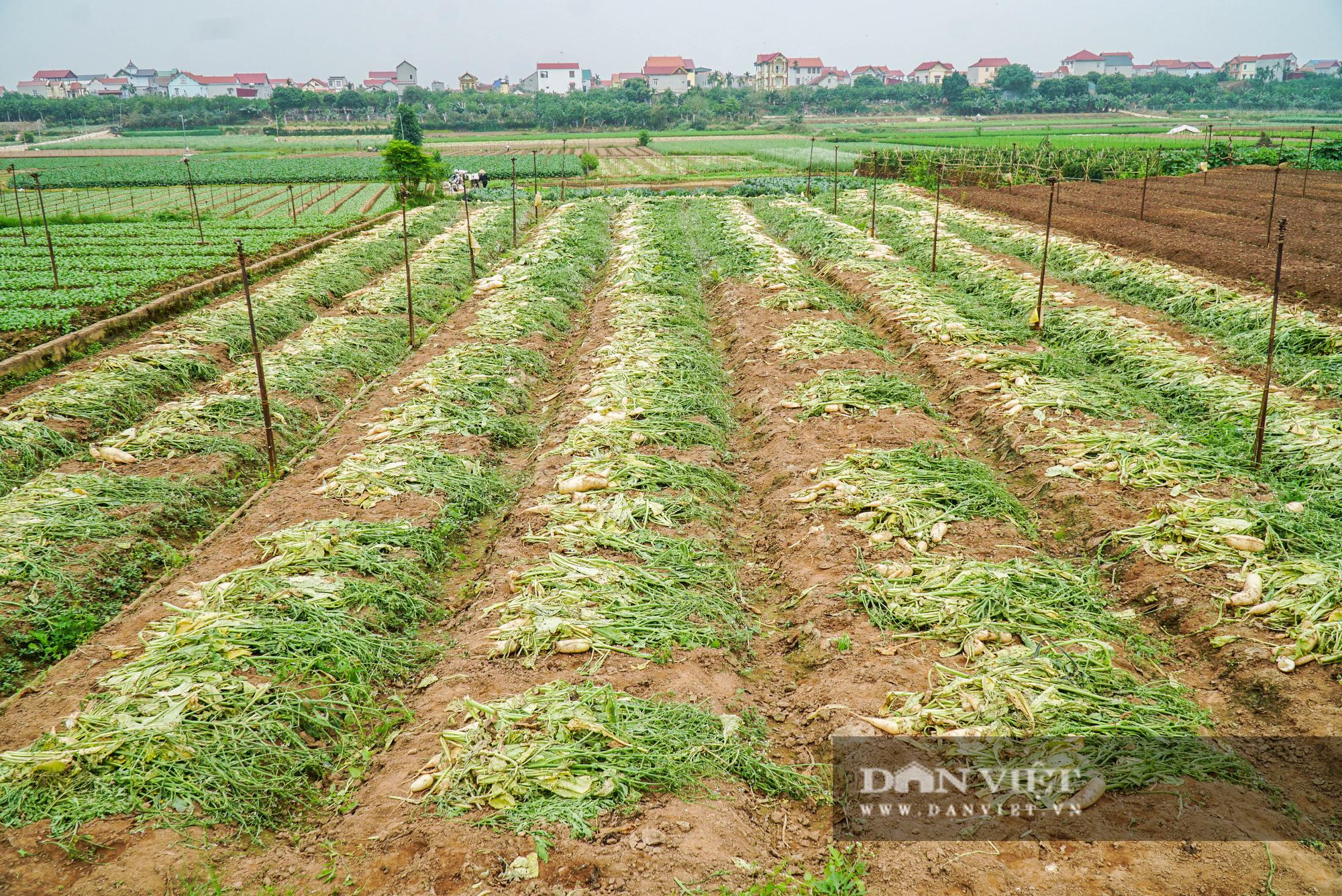 Củ cải thối phơi trắng cánh đồng, cà chua đỏ ửng không ai thu hoạch  - Ảnh 4.