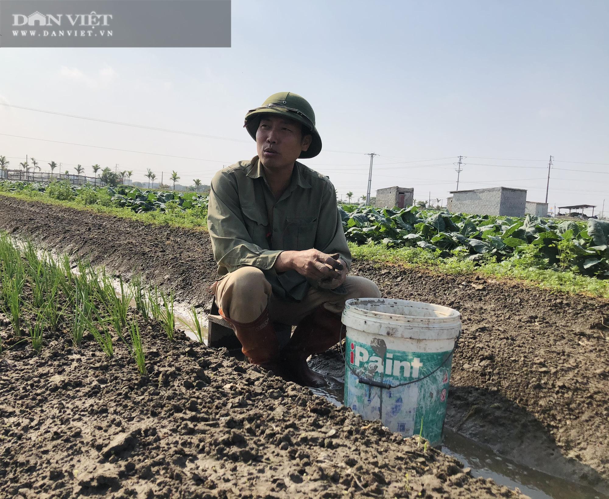 Thái Bình: Rau rẻ như cho, chỉ 8.000 nghìn đồng/15 củ su hào, nông dân chán nản cắt về làm thức ăn cho bò - Ảnh 2.