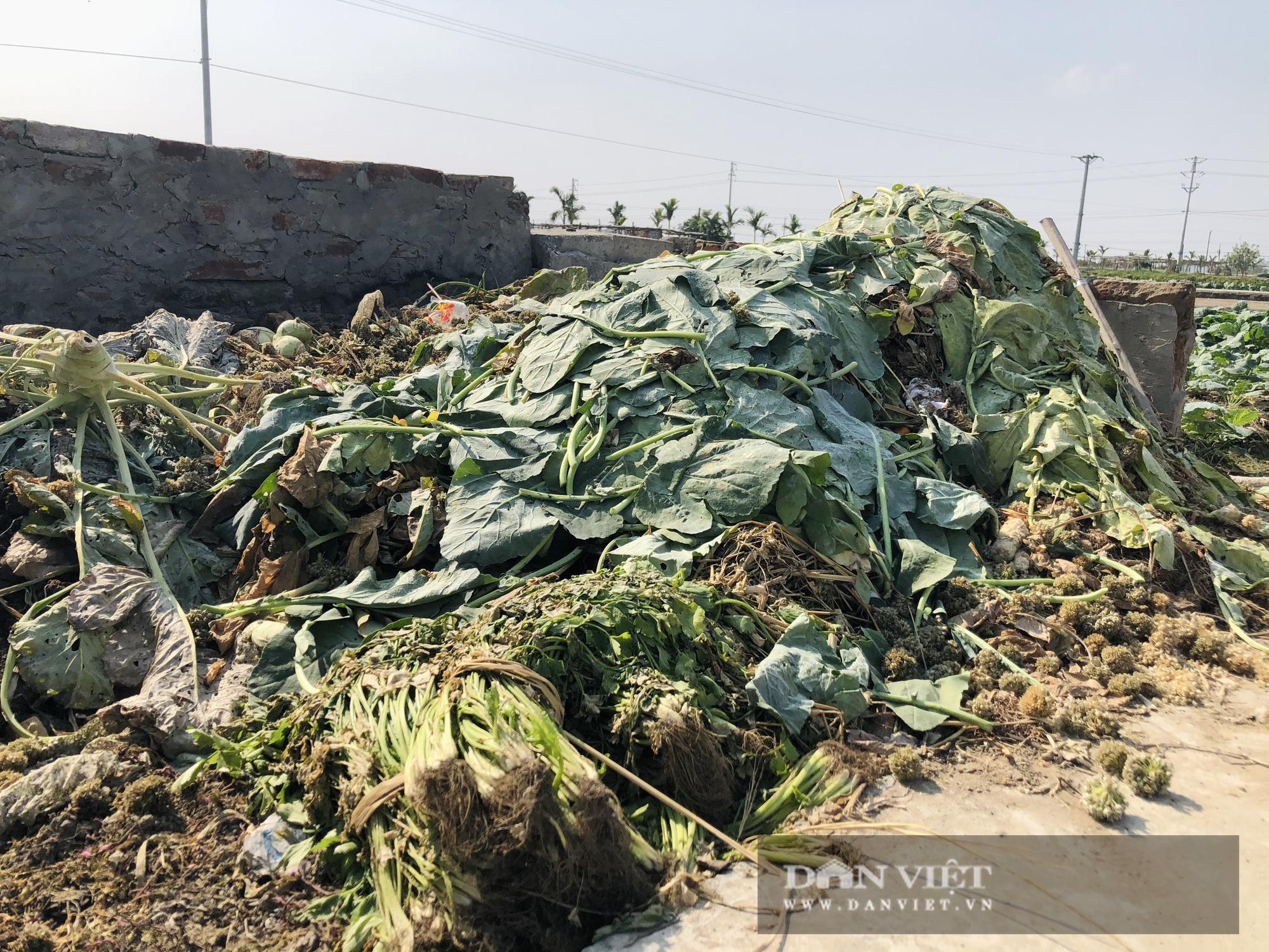 Thái Bình: Rau rẻ như cho, chỉ 8.000 nghìn đồng/15 củ su hào, nông dân chán nản cắt về làm thức ăn cho bò - Ảnh 5.