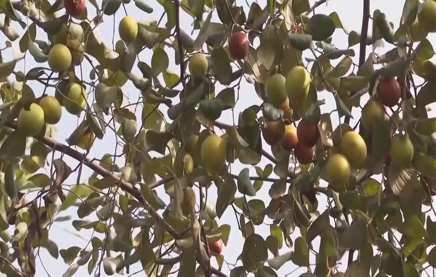 Trồng táo hồng trong nhà lưới, ông nông dân thu về hàng trăm triệu mỗi năm - Ảnh 6.