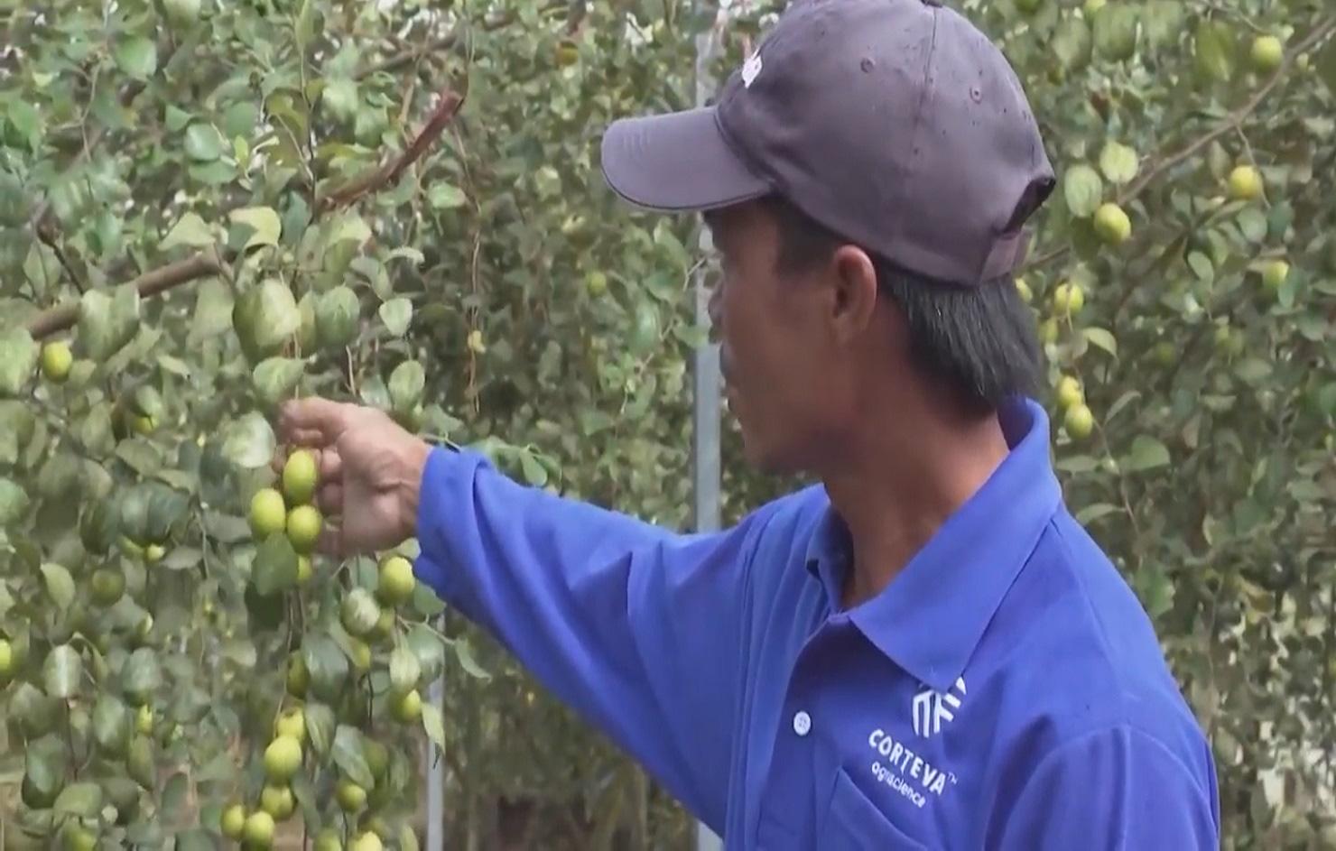 Trồng táo hồng trong nhà lưới, ông nông dân thu về hàng trăm triệu mỗi năm - Ảnh 2.