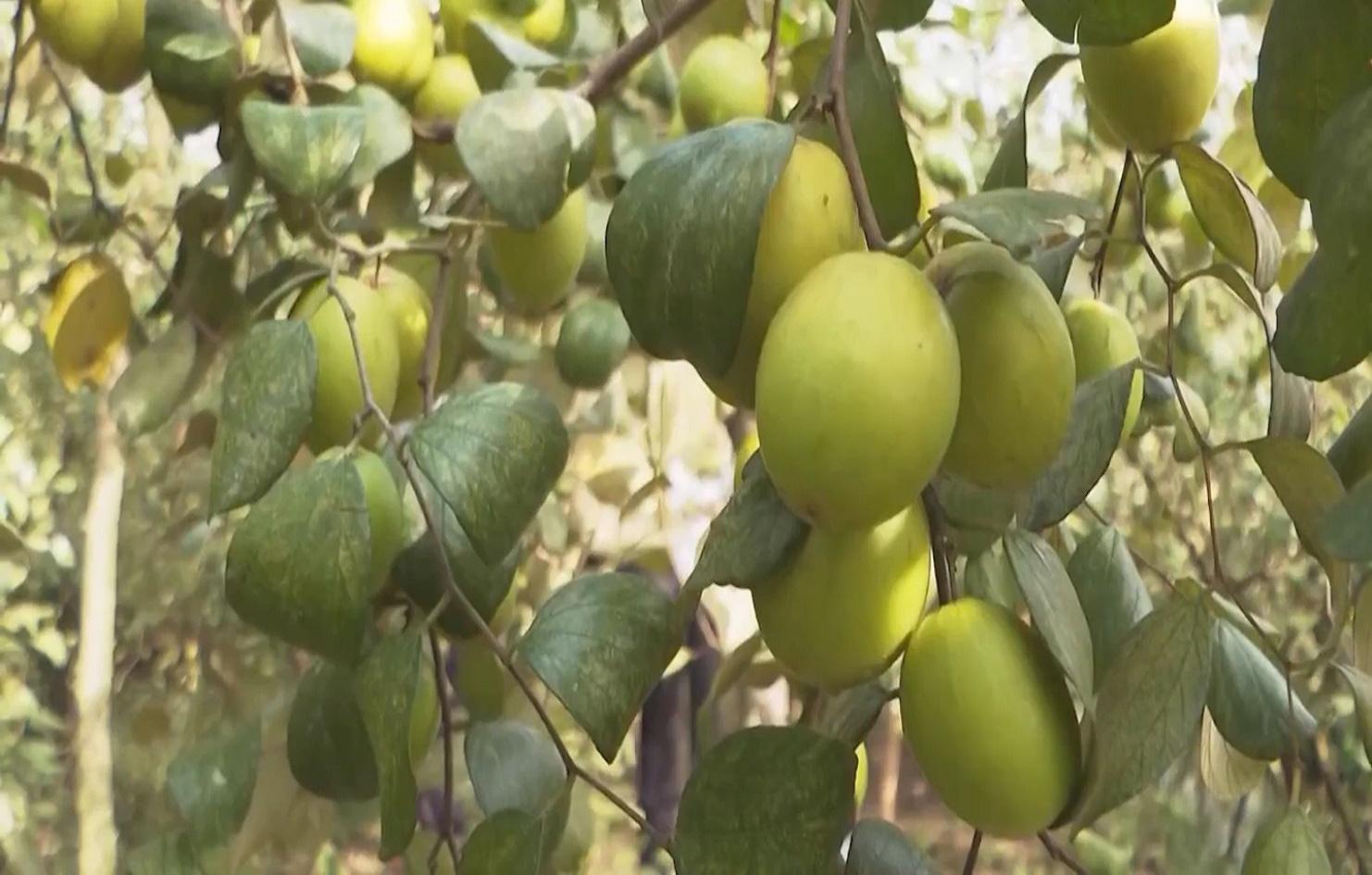 Trồng táo hồng trong nhà lưới, ông nông dân thu về hàng trăm triệu mỗi năm - Ảnh 5.