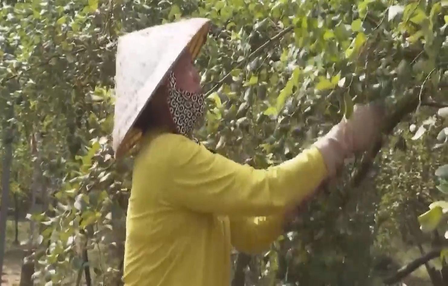 Trồng táo hồng trong nhà lưới, ông nông dân thu về hàng trăm triệu mỗi năm - Ảnh 7.