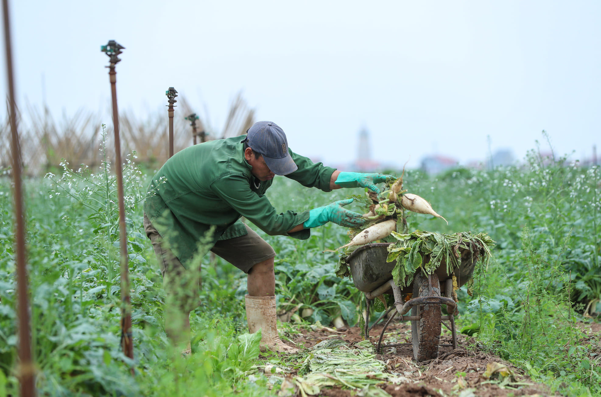 Hàng trăm tấn củ cải rớt giá thảm hại, người dân Hà Nội xót xa nhổ bỏ vì bán không ai mua - Ảnh 7.
