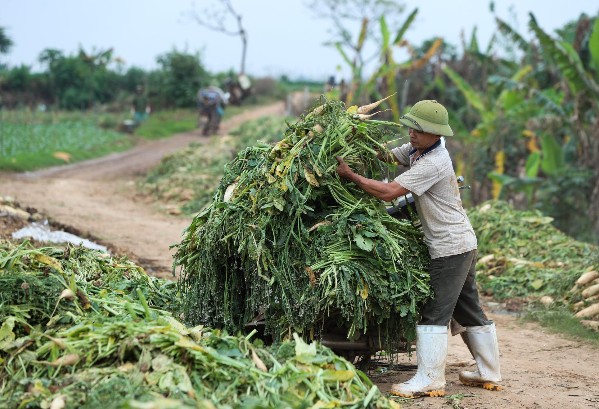 Hàng trăm tấn củ cải rớt giá thảm hại, người dân Hà Nội xót xa nhổ bỏ vì bán không ai mua - Ảnh 3.