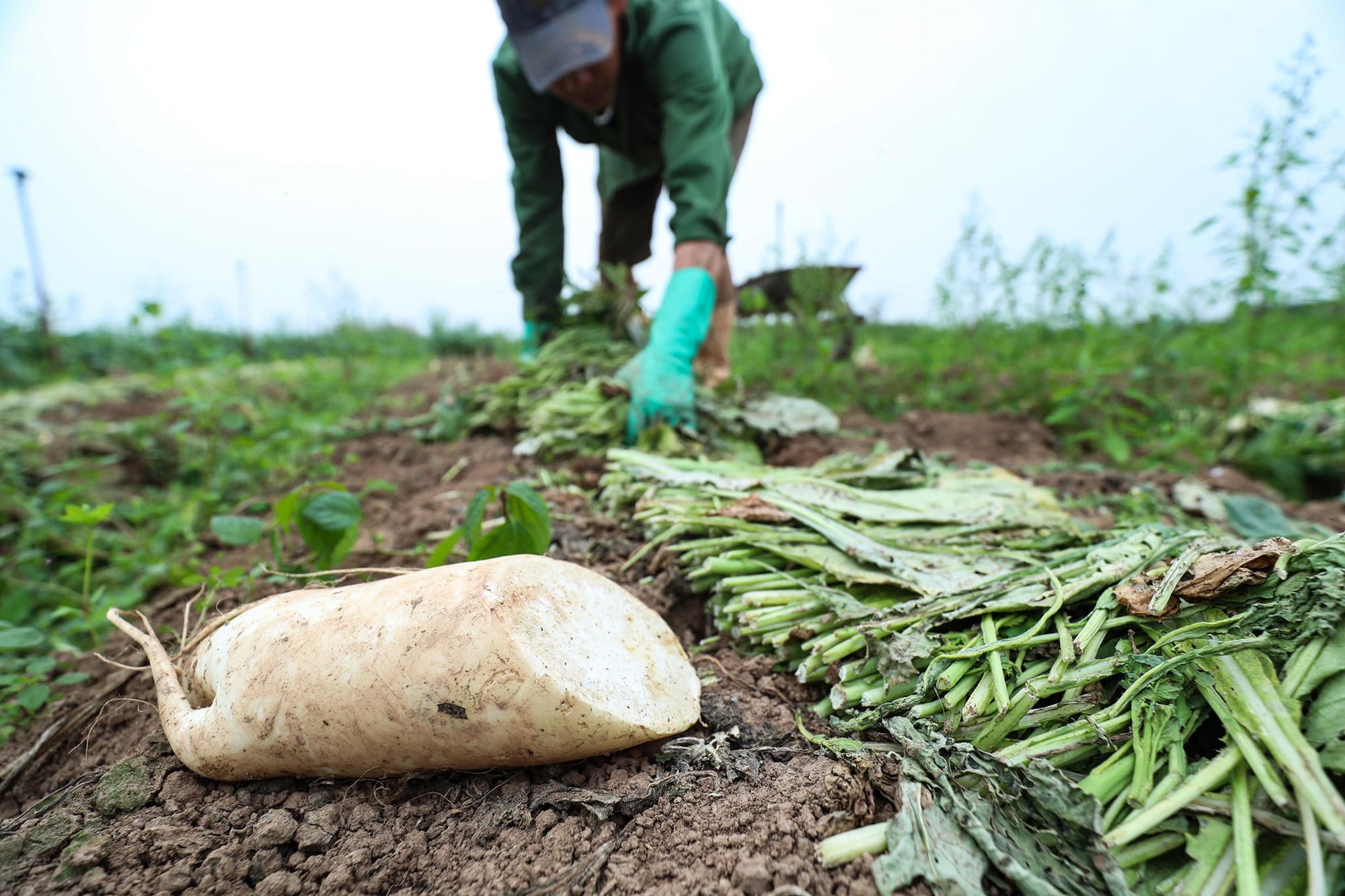 Hàng trăm tấn củ cải rớt giá thảm hại, người dân Hà Nội xót xa nhổ bỏ vì bán không ai mua - Ảnh 2.