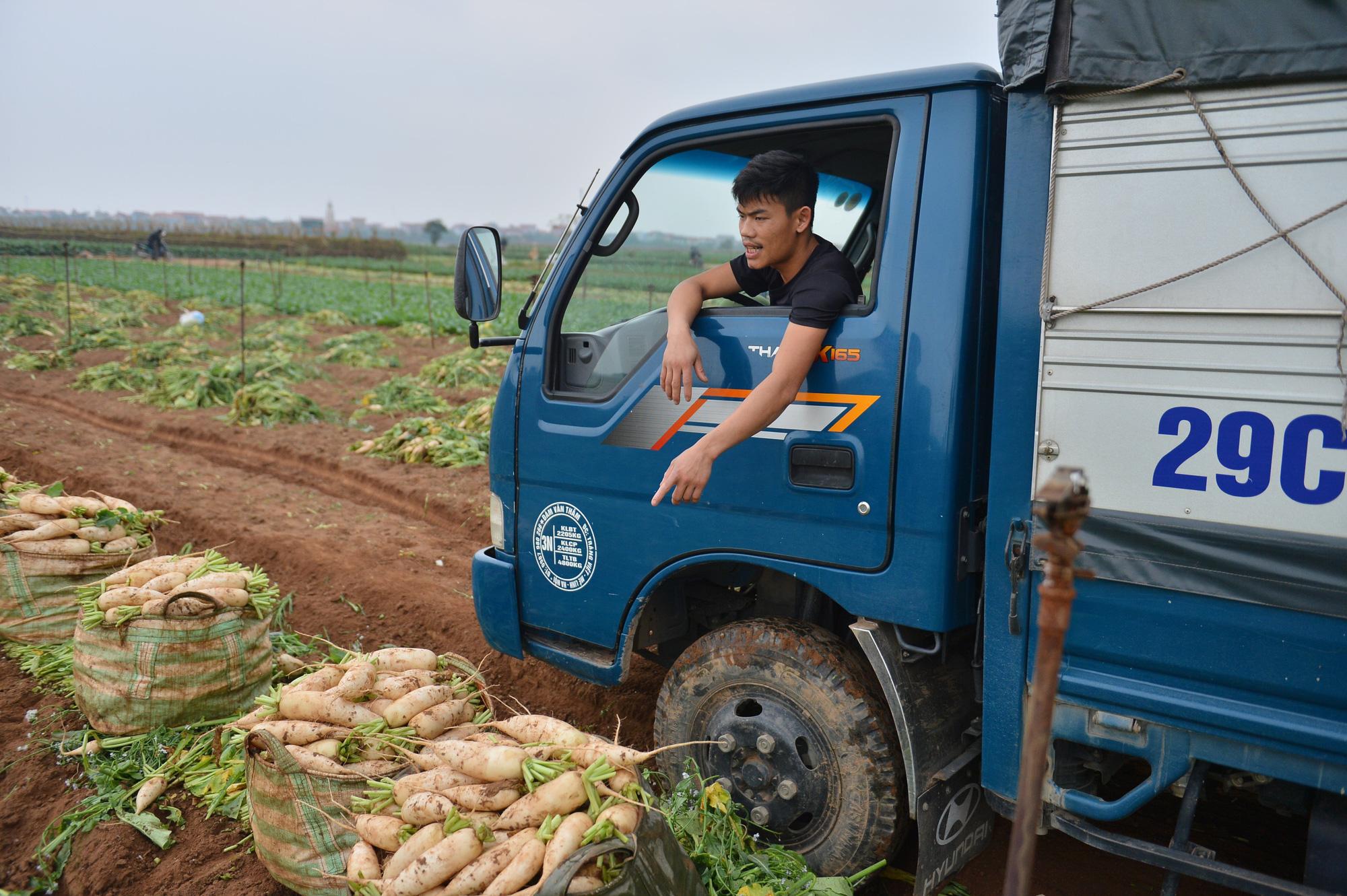 Sau Hải Dương, hàng trăm tấn củ cải ở Hà Nội rớt giá, người dân phải nhổ bỏ vì bán không ai mua - Ảnh 12.