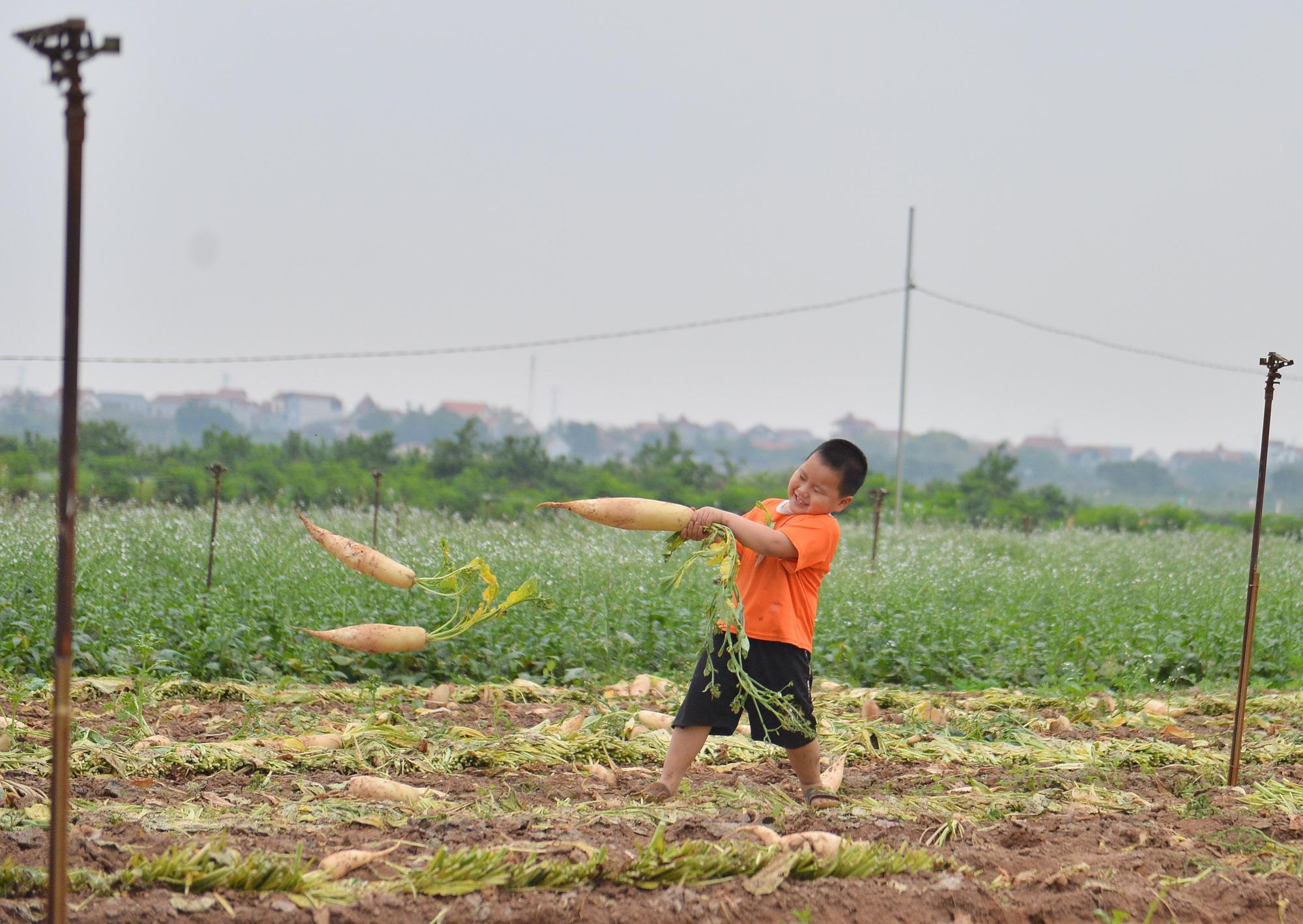 Sau Hải Dương, hàng trăm tấn củ cải ở Hà Nội rớt giá, người dân phải nhổ bỏ vì bán không ai mua - Ảnh 9.