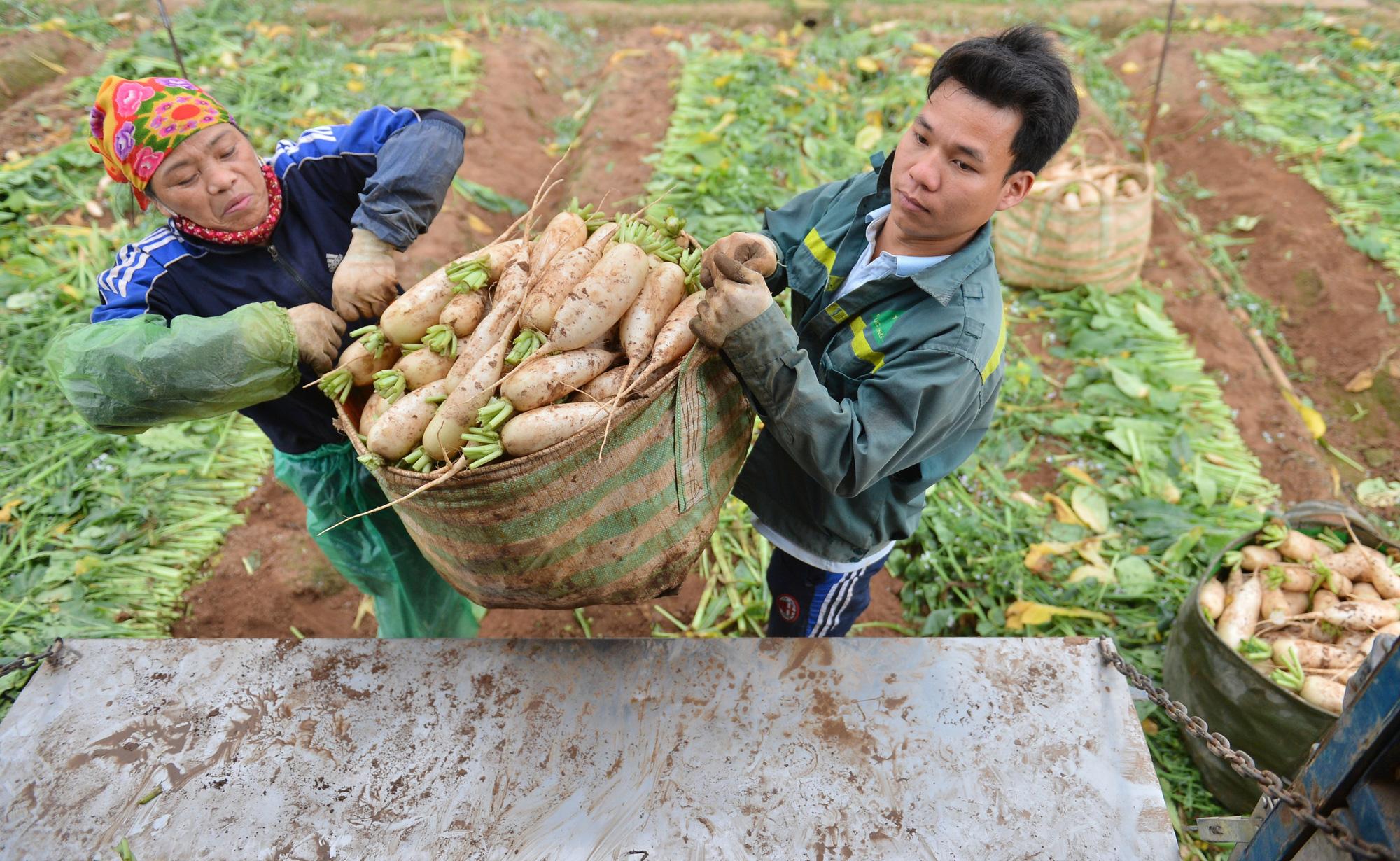 Sau Hải Dương, hàng trăm tấn củ cải ở Hà Nội rớt giá, người dân phải nhổ bỏ vì bán không ai mua - Ảnh 11.