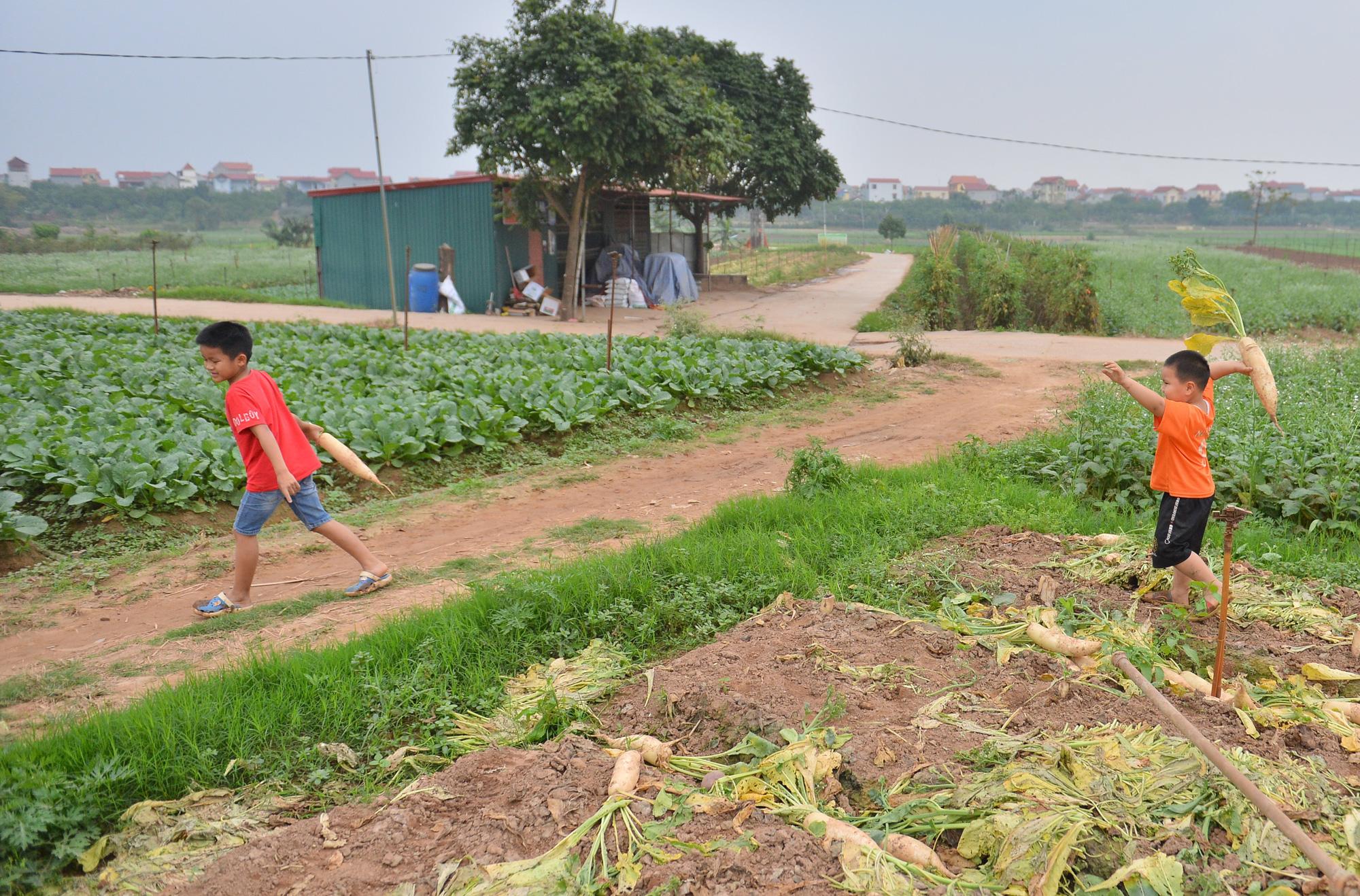 Sau Hải Dương, hàng trăm tấn củ cải ở Hà Nội rớt giá, người dân phải nhổ bỏ vì bán không ai mua - Ảnh 8.
