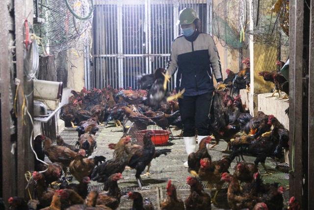 Giá gia cầm hôm nay 24/2: Giá các loại gà, vịt thịt mới nhất tại các vùng, người nuôi ba miền thua lỗ triền miên - Ảnh 1.
