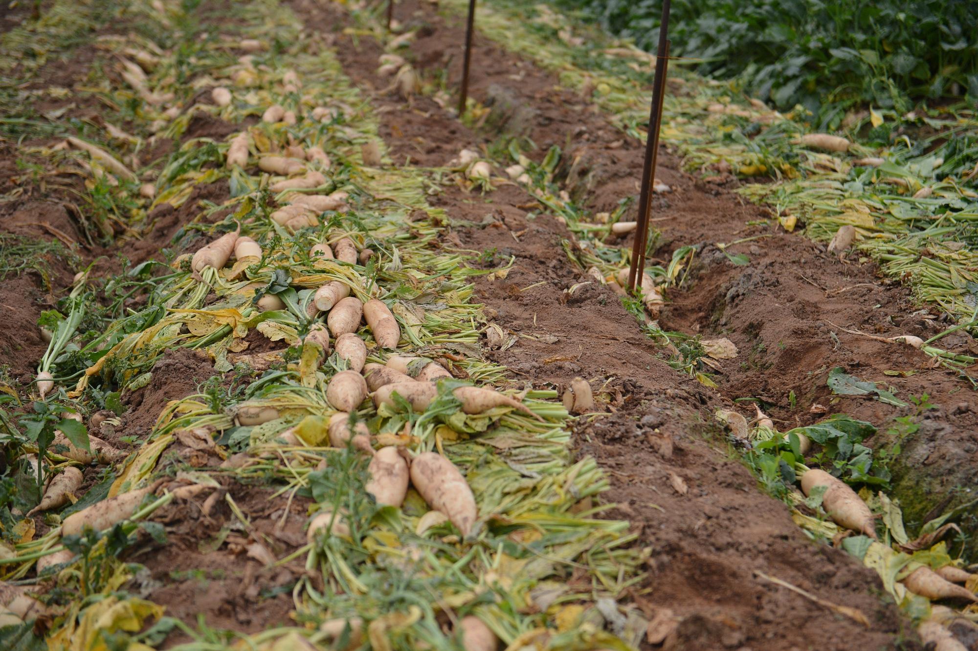 Sau Hải Dương, hàng trăm tấn củ cải ở Hà Nội rớt giá, người dân phải nhổ bỏ vì bán không ai mua - Ảnh 5.