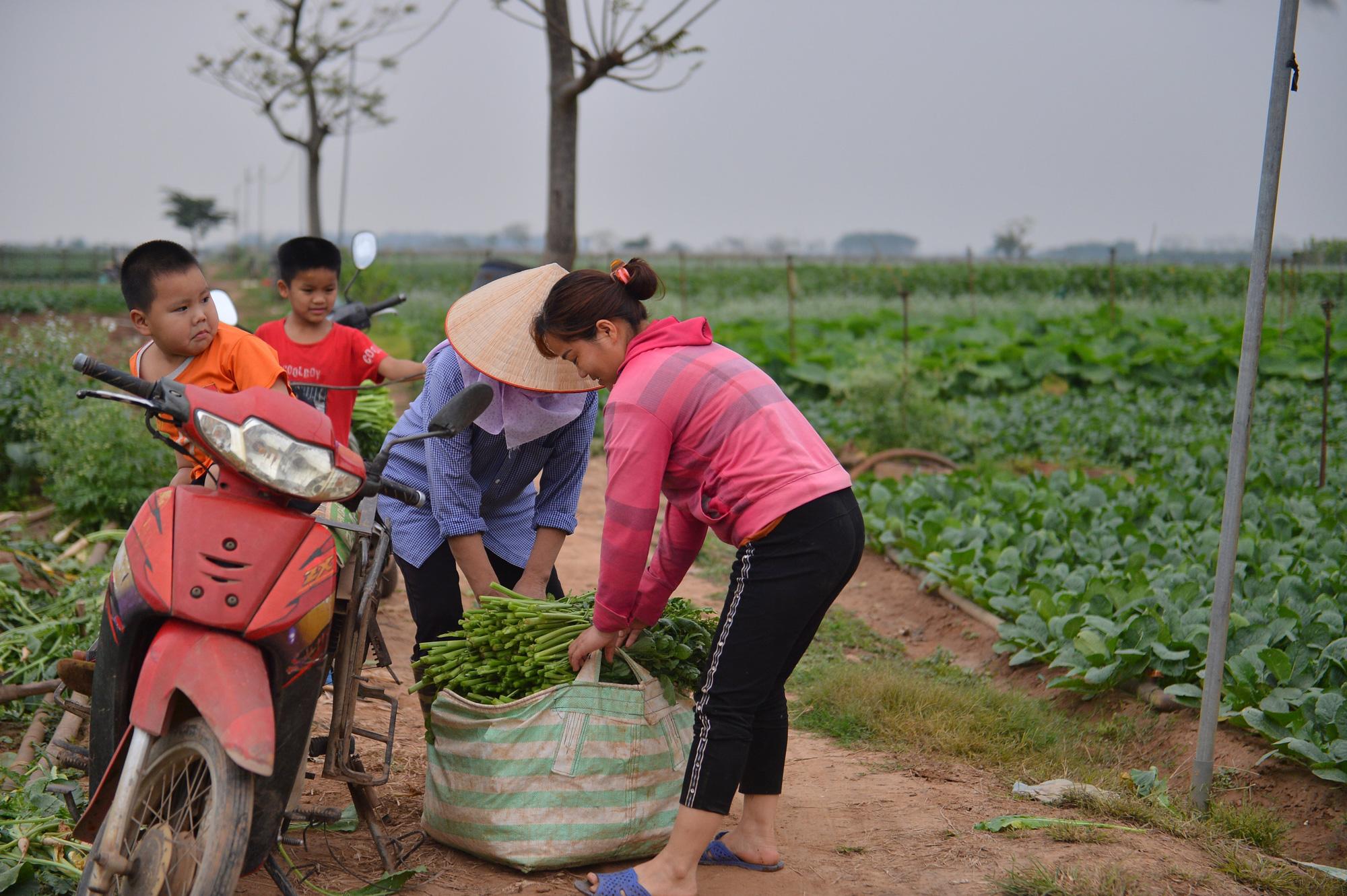 Sau Hải Dương, hàng trăm tấn củ cải ở Hà Nội rớt giá, người dân phải nhổ bỏ vì bán không ai mua - Ảnh 7.
