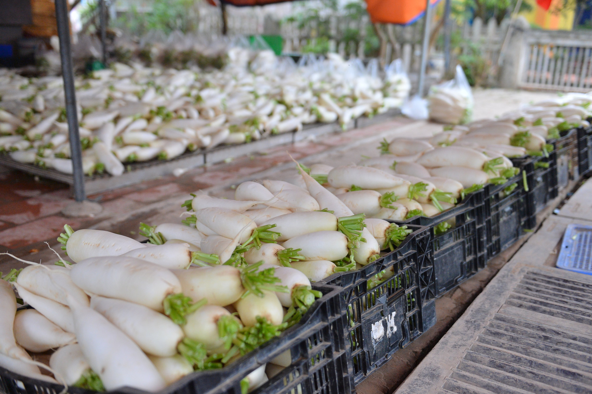 Sau Hải Dương, hàng trăm tấn củ cải ở Hà Nội rớt giá, người dân phải nhổ bỏ vì bán không ai mua - Ảnh 13.